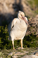 American White Pelican (Pelecanus erythrorhynchos) chick. Lake County, Oregon. July.