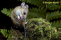 MU13-007z   White-Footed Mouse - cleaning fur with mouth - Peromyscus leucopus