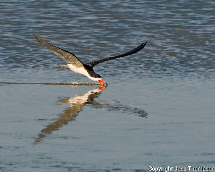 Black Skimmer skims the water on South Padre Island, TX