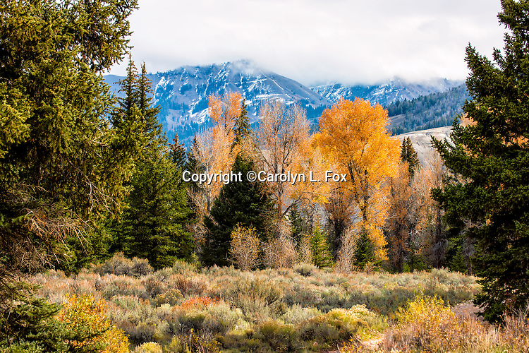 Aspen trees outside of Jackson Hole, Wyoming have turned a bright yellow for Fall.