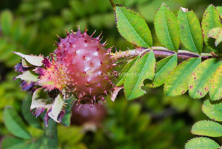 Rosa roxburghii rose hips seed fruit roses