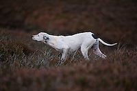 Pointer dog pointing towards grouse on a grouse moor, West Yorkshire.