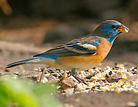 Adult male lazuli bunting in partial breeding plumage, April, Concan, TX
