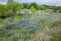 A digitally enhanced and maniuplated fine art image of Texas, Wildflowers, bluebonnets, prickly poppies, native grass, FM 2323, Llano