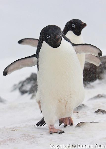 2 Adelie Penguins walk along Turret Point, Penguin Island, Antarctic Peninsula, November 2007