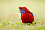 Crimson Rosella (Platycercus elegans) feeding on seeds, Jervis Bay, New South Wales, Australia