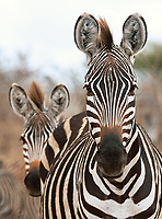 Perhaps an underrated animal… zebras often provide some very interesting photo opportunities.