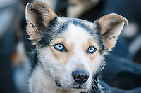 Portrait of Zoya DeNure's dog Lightning at the 2016 Iditarod Pre-race vet check in Wasilla, Alaska. March 02, 2016 <br /> <br /> © Jeff Schultz/SchultzPhoto.com ALL RIGHTS RESERVED<br /> DO NOT REPRODUCE WITHOUT PERMISSION