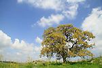 T-154 Mount Tabor Oak tree in Fakhura
