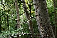 GERMANY, Ruegen, beech forest / DEUTSCHLAND, Mecklenburg-Vorpommern, intakter Wald, Laubwald mit Buchen im Nationalpark Jasmund, Borkenkäfer im Totholz