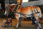 Boy with draft horse team waiting their turns in the competition at Cheshire Fair in Swanzey, New Hampshire USA