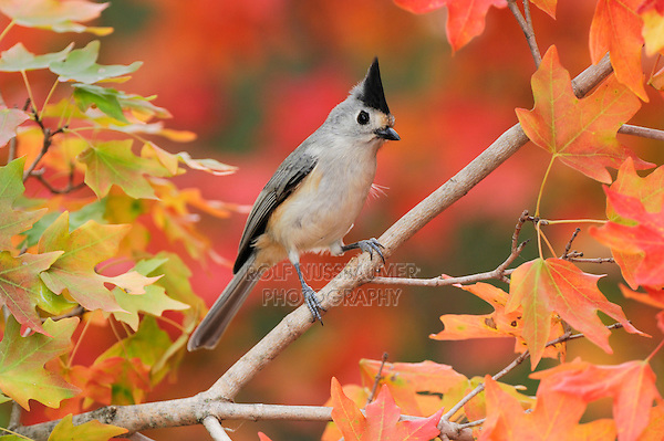 Black-crested Titmouse (Baeolophus atricristatus), adult on autumn leaves of Bigtooth Maple (Acer grandidentatum), Hill Country, Central Texas, USA