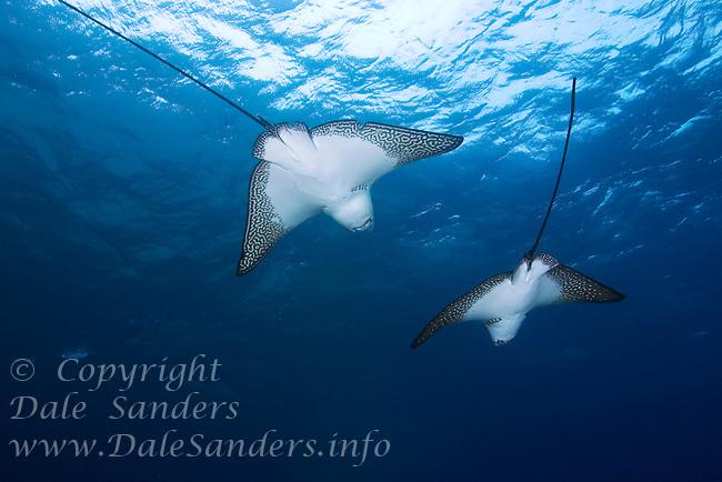 Spotted Eagle Rays (Aetobatus narinari) underwater off Darwin Island in the Galapagos Islands of Ecuador.