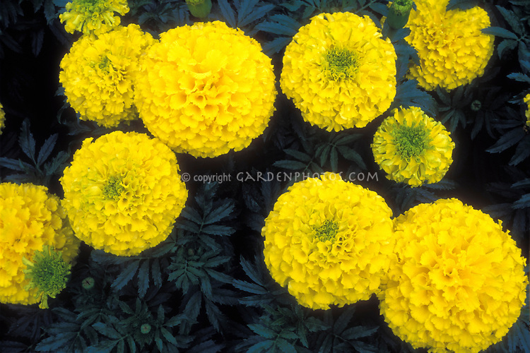 Marigold 'Inca Yellow', American or African Tagetes, large flowered annuals, hybrid x erecta