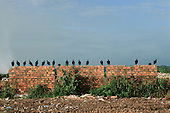 Macapa, Amapa State, Brazil. Row of vultures sitting on a rough brick wall with rubbish in front.