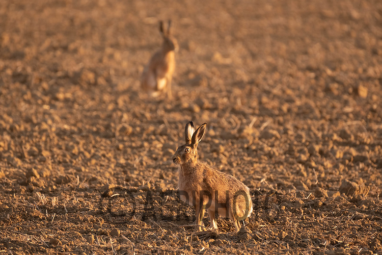 28.9.2020 Brown hares <br /> ©Tim Scrivener Photographer 07850 303986<br />      ....Covering Agriculture In The