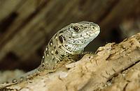 Zauneidechse, Zaun-Eidechse, Weibchen, Portrait, Lacerta agilis, sand lizard