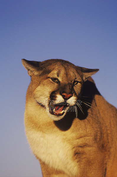 Mountain lion (Puma concolor), adult growling ,captive, Colorado, USA