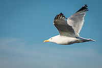 """Herring Gull in Flight""<br />