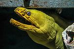 Green morey eel face and neck shot hiding under shipwreck