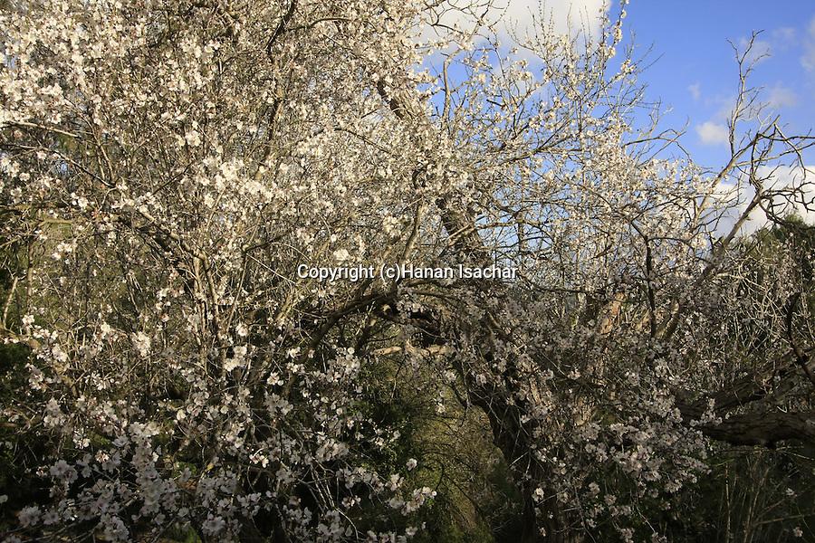 Israel, Jerusalem Mountains, Almond trees in Ein Tayasim