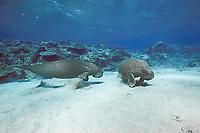 dugongs or sea cows, Dugong dugon, tropical Indo-Pacific region (Western Pacific Ocean)