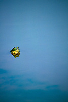 Eyes of the bullfrog from the glassy surface of a lake