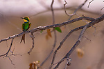 A swallow-tailed bee-eater rests on a branch in Etosha National Park, Namibia.