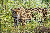 jaguar, Panthera onca, with tracking device collar, Pantanal, Brazil