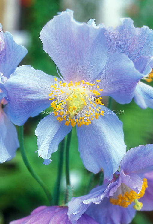 Meconopsis betonicifolia Himalayan Blue Poppy, blue flowers