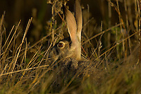 Black-tailed Jackrabbit (Lepus californicus).   Western U.S., Fall.