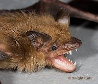 MA20-794z  Big Brown Bat threatening with mouth open showing teeth, Eptesicus fuscus
