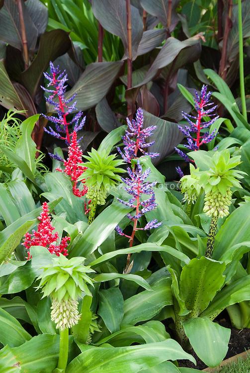 Eucomis bicolor with tropical flowers, Canna dark leaved purple foliage