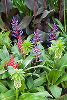 Eucomis bicolor with tropical flowers, Canna dark leaved purple foliage