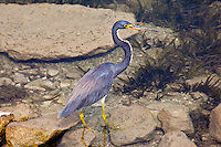Tri-Colored Heron, Flores, Peten, Guatemala