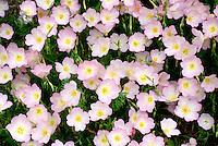 The delicate pink Evening primrose, Oenothera speciosa,close up in bloom