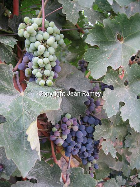 """Art of the Vine"", Napa Valley"