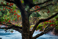 Ficus tree with red leaves and ocean. Hawaii Tropical Botanical Gardens, The Big Island, Hawaii