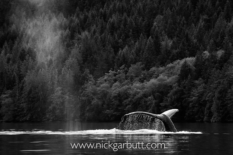 Adult humpback whale (Megaptera novaeangliae) diving in deep water channel. Great Bear Rainforest, British Columbia, Canada. September 2018