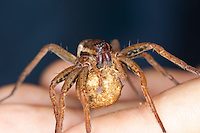 """Gerandete Jagdspinne, Listspinne, Weibchen mit Eikokon, Eiern auf einer Hand, """"Keine Angst vor Spinnen!"""", Dolomedes fimbriatus, raft spider, raft-spider, Raubspinnen, Pisauridae"""