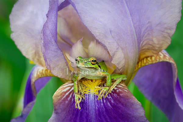 Pacific tree frog (Pseudacris regilla), also known as the Pacific chorus frog on backyard, domestic Iris.  Pacific Northwest, May.