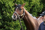 May 15, 2015: Preakness contender Tale of Verve grazes after his morning exercise the day before the big race. Friday morning Preakness preparations at Pimlico Race Course in Baltimore, MD. Joan Fairman Kanes/ESW/CSM