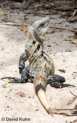 0626-1109  Black Spiny-tailed Iguana (Black Iguana, Black Ctenosaur), On Half-moon Caye in Belize, Ctenosaura similis  © David Kuhn/Dwight Kuhn Photography