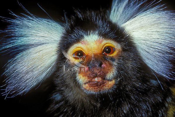 Common Marmoset (Calithrix jacchus) is a New World monkey found in Brazil.