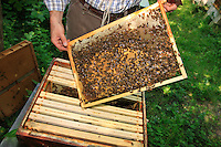 A beekeeper drawing out from a hive a wax frame covered with bees
