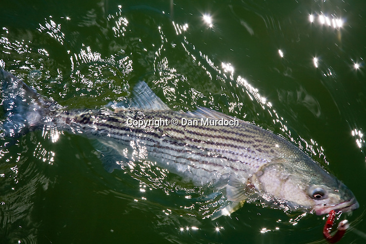 Striped bass with fishing lure in mouth, still in the water