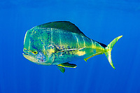 mahi-mahi, dorado, or dolphin fish (pelagic), Coryphaena hippurus, large bull (male) in golden color phase (compare with 033672), with copepod parasites, Louisiana, USA, (Gulf of Mexico) (de)