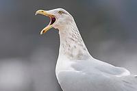 Adult Herring Gull in basic plumage calling. Tompkins County, New York. September.