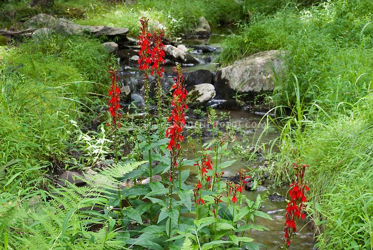Lobelia cardinalis Cardinal Flower wild in native American Pennsylvania USA habitat in stream sitting in water in woods
