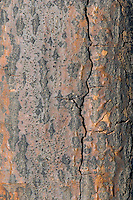 Pin Oak tree (Quercus palustris); close-up of bark. Carolinian Forest. Canada's smallest and most southerly forest. Lake Erie shore, Ontario.